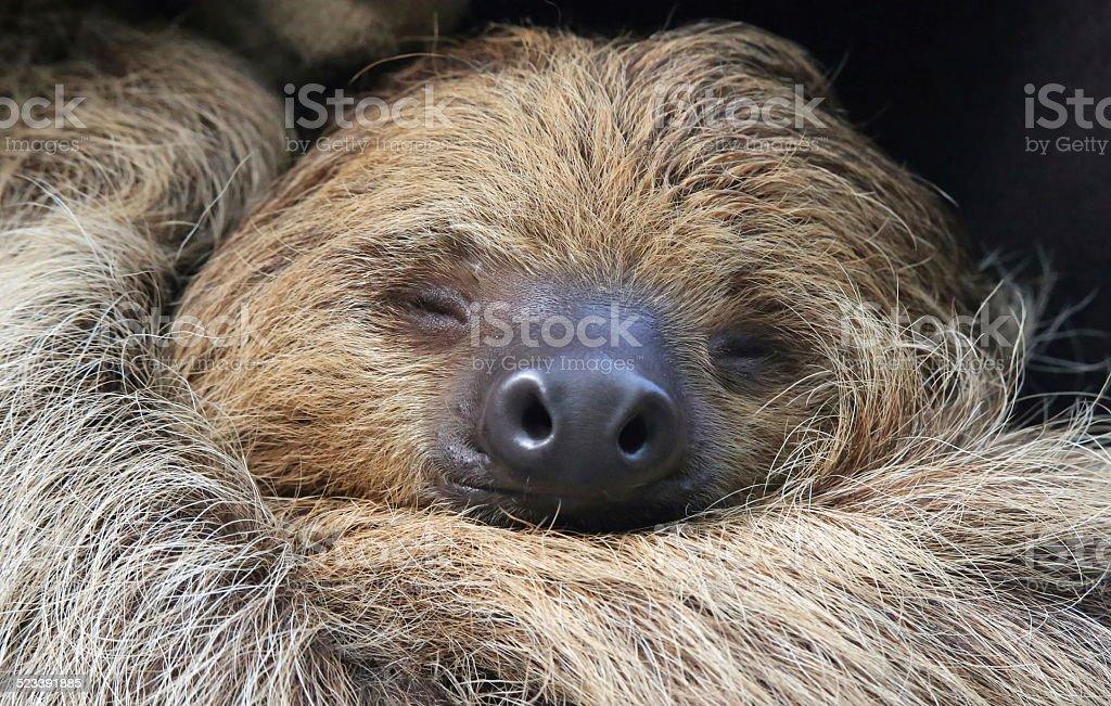 Sleeping Two-toed sloth (Choloepus didactylus) stock photo