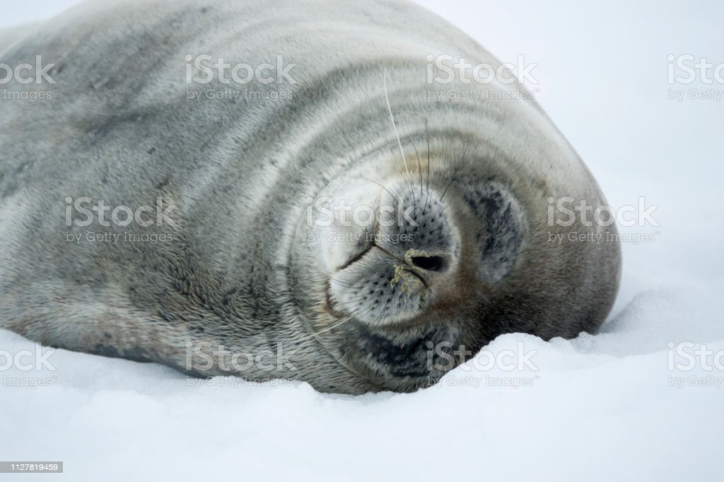 Sleeping weddell seal closeup Danco Island snow Antarctica Gerlache Strait stock photo
