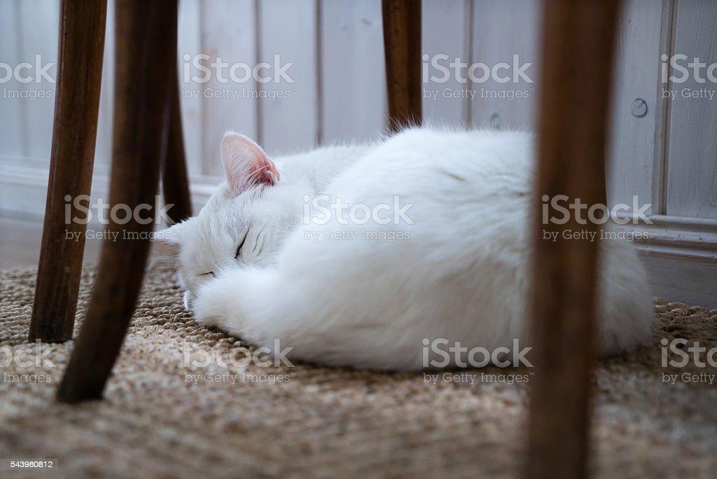 sleeping white cat stock photo