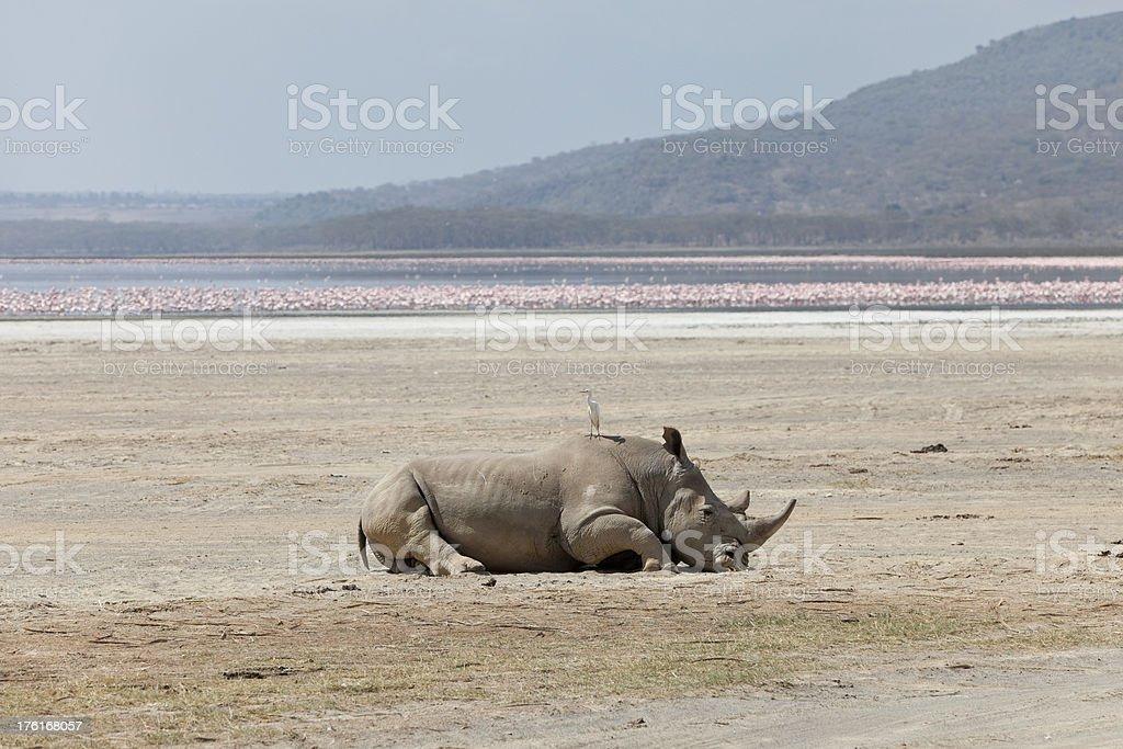 Sleeping White Rhinoceros, Lake Nakuru, Kenya stock photo