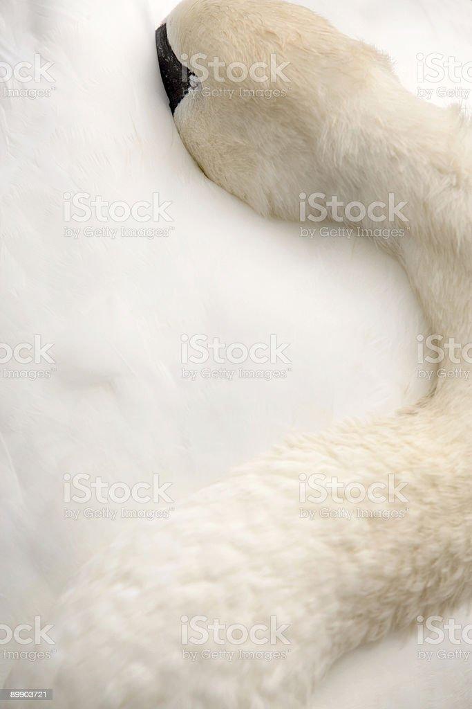 Schlafen white swan Lizenzfreies stock-foto