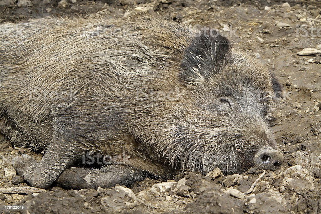 Sleeping wild boar stock photo