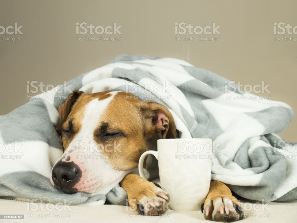 Sleeping young pitbull dog in bed covered in throw blanket with steaming cup of hot tea or coffee. stock photo