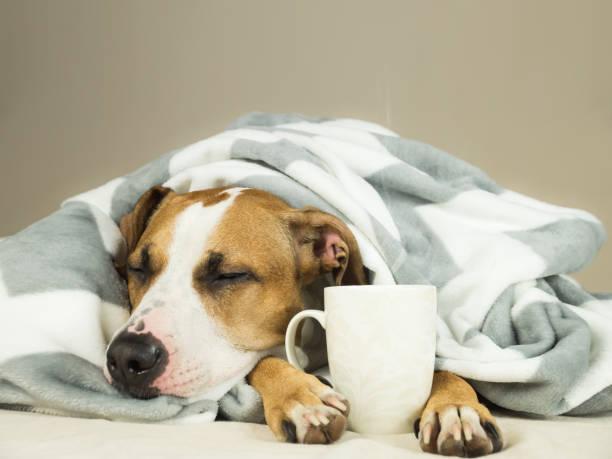 hund im bett bedeckt schlafen junge pitbull decke mit dampfenden tasse heißen tee oder kaffee. - hunde träger stock-fotos und bilder