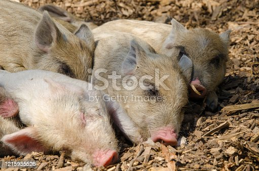istock Sleeping youngsters - wild boar in the forest 1215935526