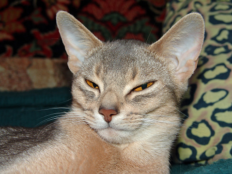 Sleepy abyssinian cat lies on a bed