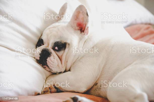 Sleepy and grumpy french bulldog on bed in a bedroom picture id1147344168?b=1&k=6&m=1147344168&s=612x612&h=8fh3kuzjbqemp4jkzpxwf579i6kqyxqctk3oymrngsw=