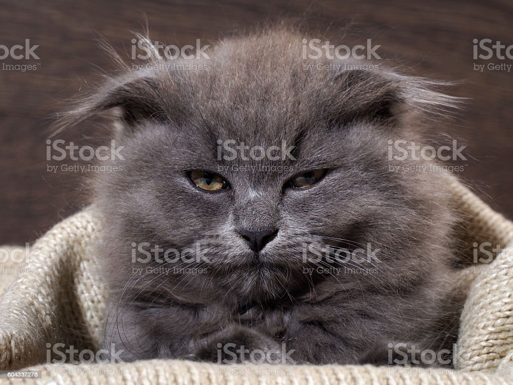 Sleepy, annoyed, awake cat gets out of the plaid stock photo