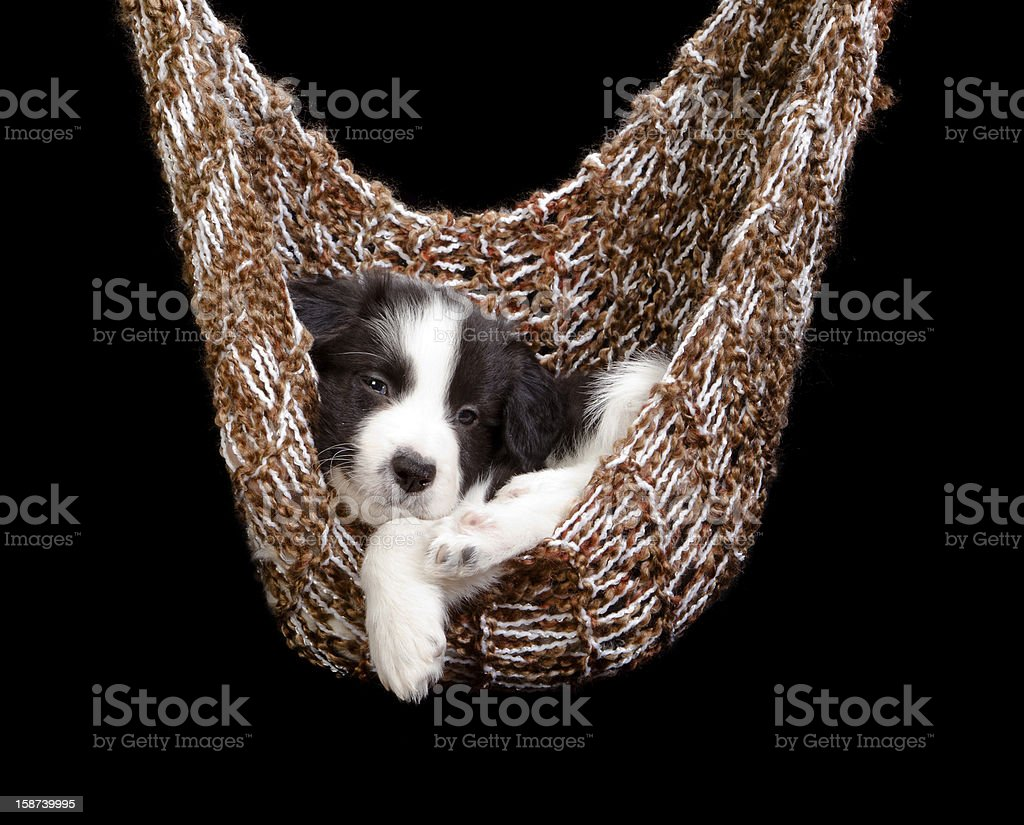 Sleepy border collie puppy royalty-free stock photo