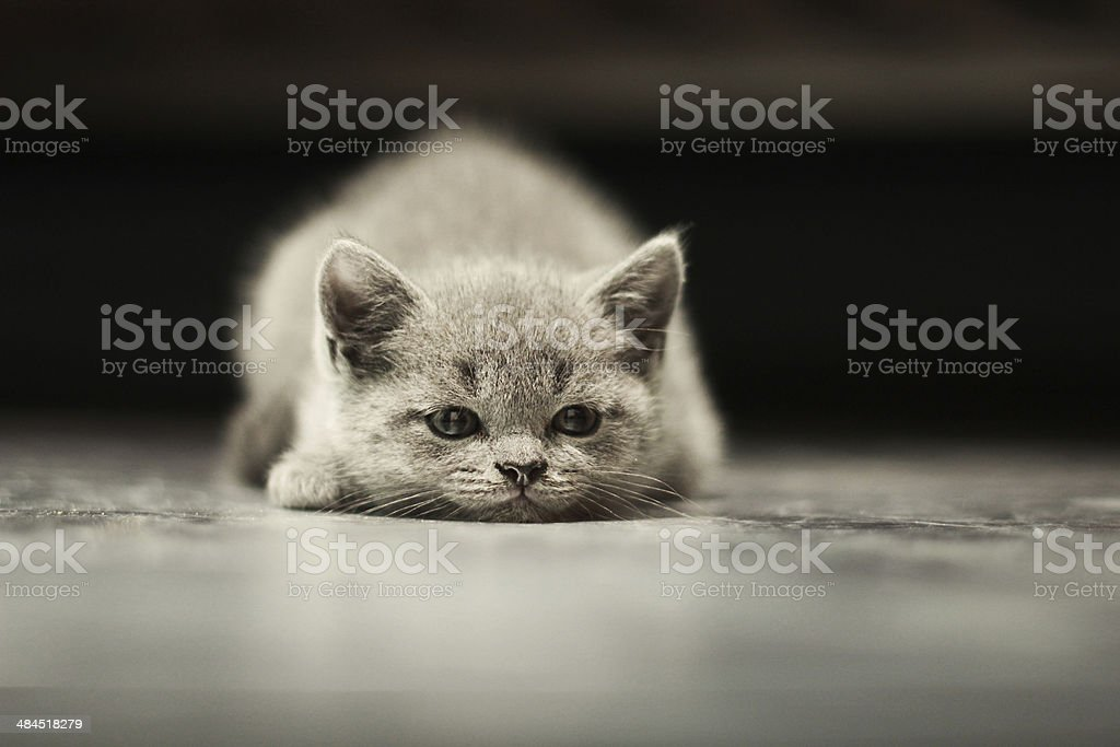 sleepy british kitten over black background stock photo
