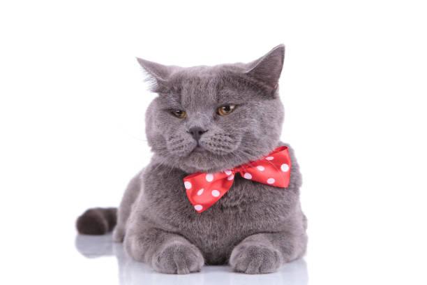 Sleepy british shorthair cat wearing bowtie picture id1205255585?b=1&k=6&m=1205255585&s=612x612&w=0&h=b knqcpgrcfjwxiqbrcs5oof7ikukpnm54 6rzvgcoa=
