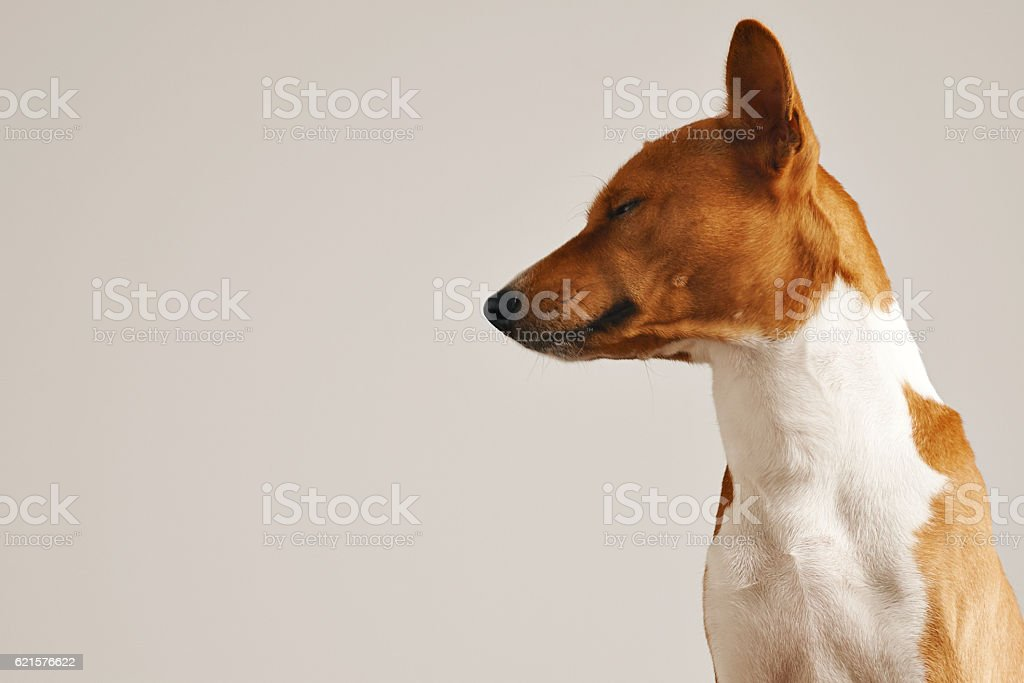 Sleepy brown and white dog photo libre de droits