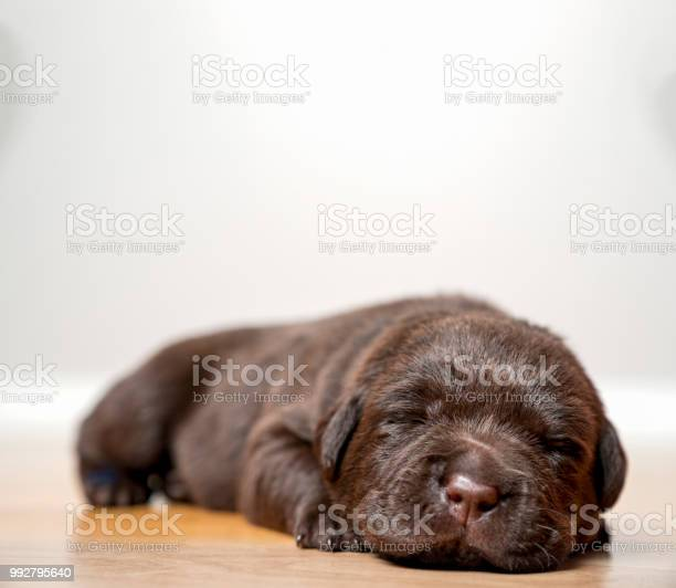 Sleepy brown labrador puppy cute as can be picture id992795640?b=1&k=6&m=992795640&s=612x612&h=zgdieuks9k5frnido2ywgojc1yeczj1n3ie1ihuq57w=