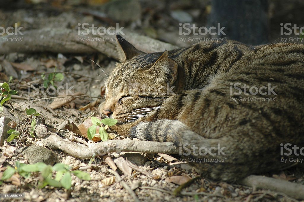 Sleepy Cat royalty-free stock photo