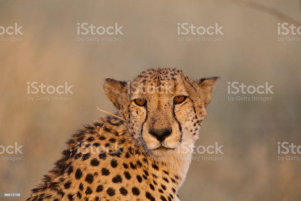 Sleepy cheetah (Acinonyx jubatus) [t] royalty-free stock photo