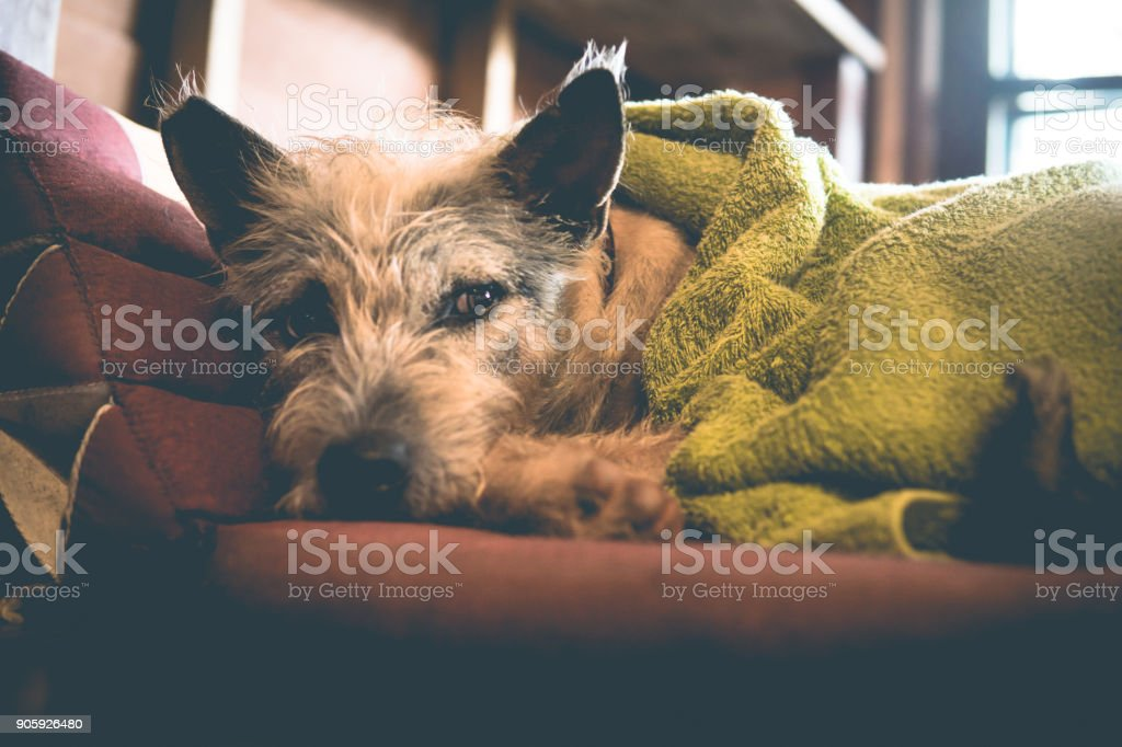 Sleepy cute cold dog wrapped in blanket in Winter stock photo