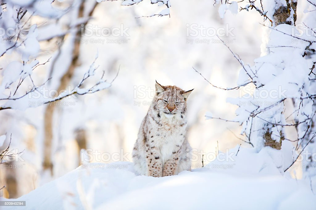 Sleepy cute lynx cub in the cold winter forest stock photo