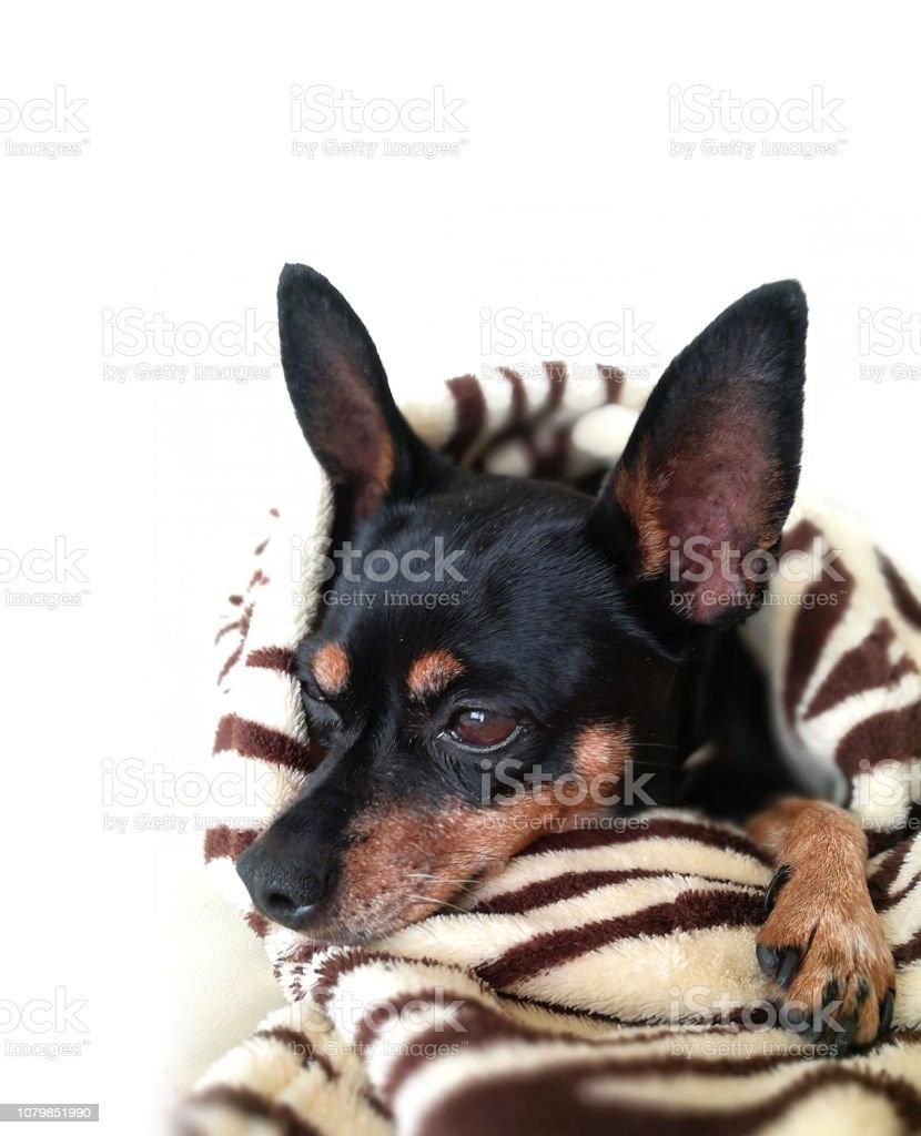 Sleepy dog - foto stock