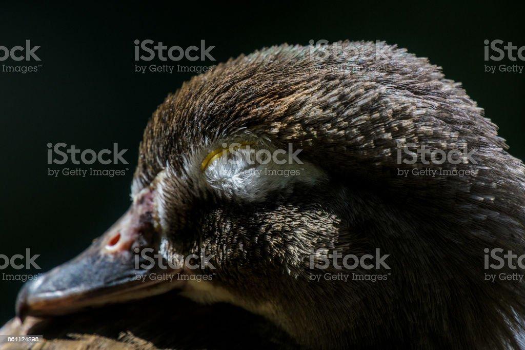 Sleepy Duck royalty-free stock photo