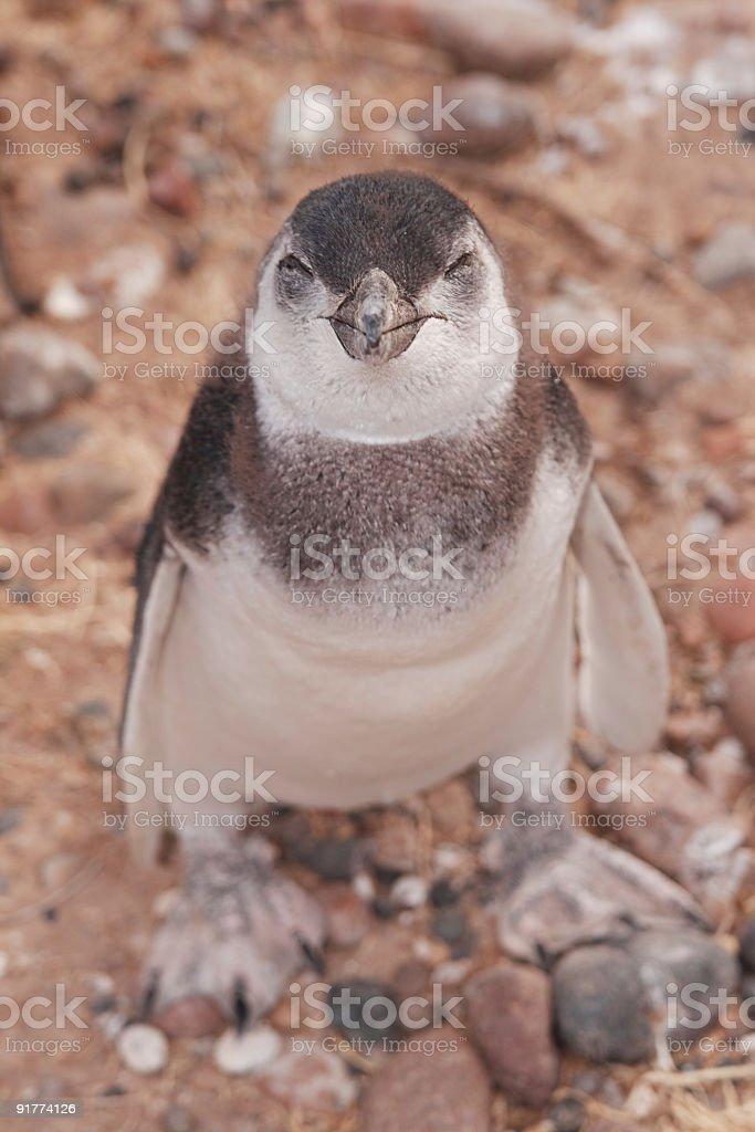Sleepy Eyed Penguin royalty-free stock photo