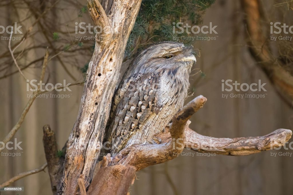 Sleepy face of Tawny frogmouth with tufts perching on tree branch, native bird in Australia stock photo