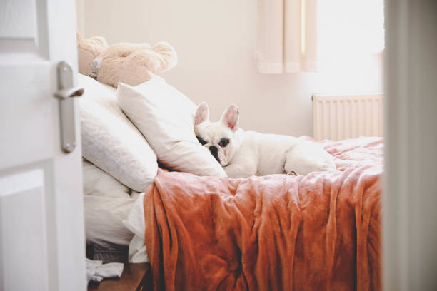 Sleepy French Bulldog on a cozy bed in a bedroom, seeing through bedroom door Cute Frenchie lying on bed in a bed room bed furniture stock pictures, royalty-free photos & images