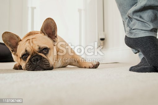 Close up of a tired French Bulldog lying on the floor of his home near an unrecognisable persons feet.
