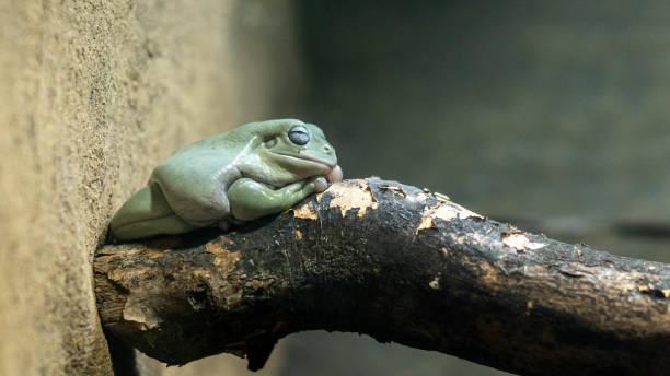 Sleepy frog stock photo