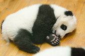 Giant Panda baby cub resting in a nursery, closeup.   Showing off its paw.  Chengdu, China.