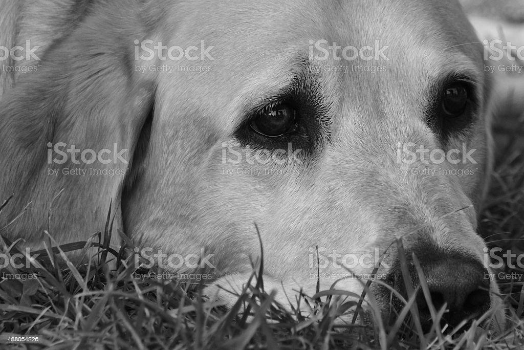 Sleepy Golden Lab - Black And White Image stock photo