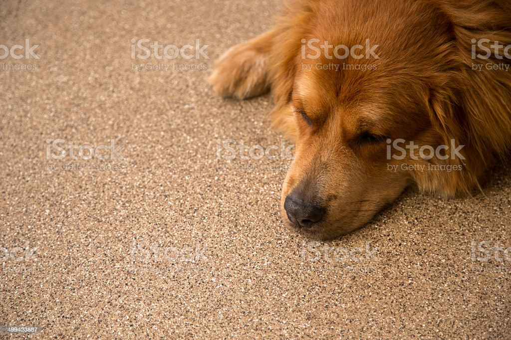 Sleepy Golden Retriever Mix Dog Red Color Head Down Stock Photo