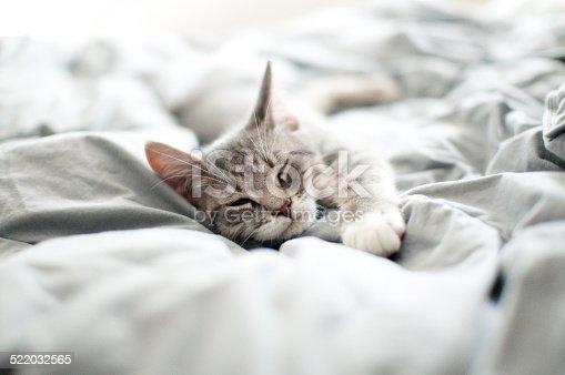istock Sleepy gray kitten 522032565