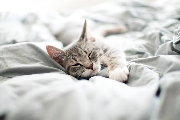 Sleepy gray kitten picture id522032565?b=1&k=6&m=522032565&s=612x612&w=0&h=qbb kld13nmsqup8ypcdrvivqnxq0t7u3hcppzqnuiw=