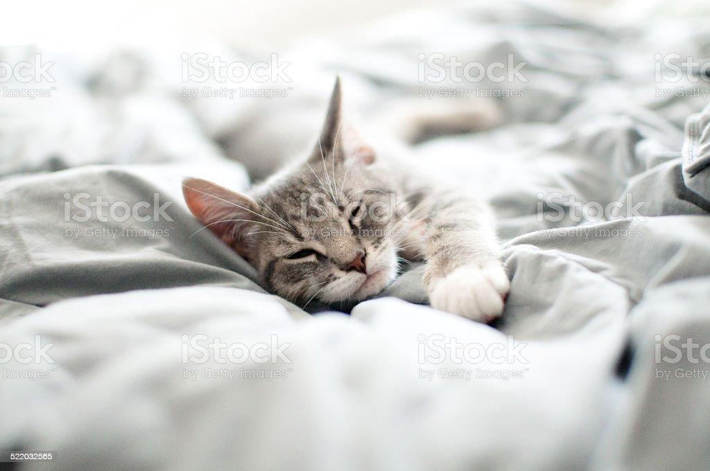 Sleepy gray kitten stock photo