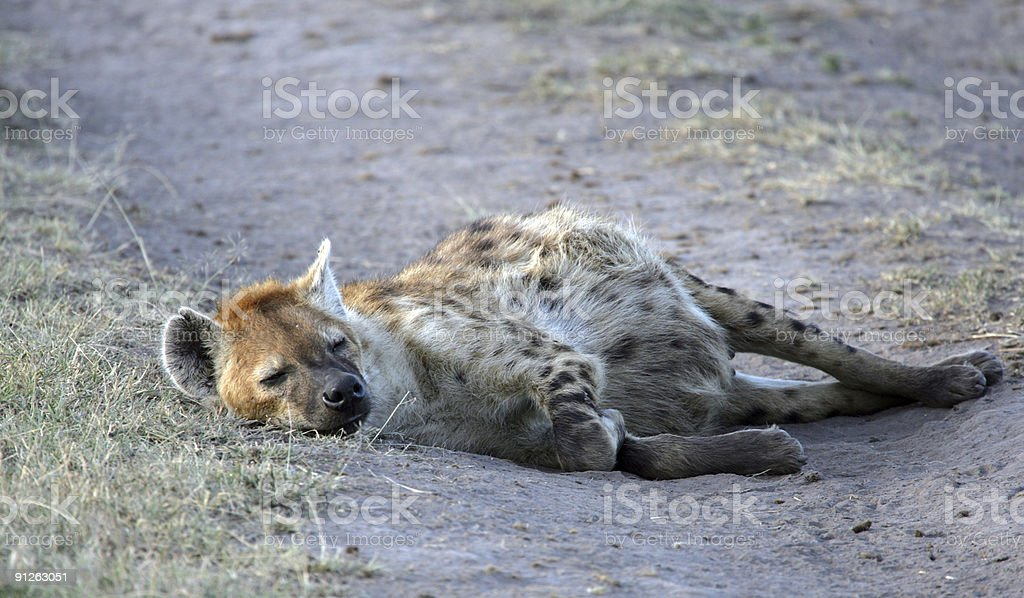 Sleepy Hyena royalty-free stock photo