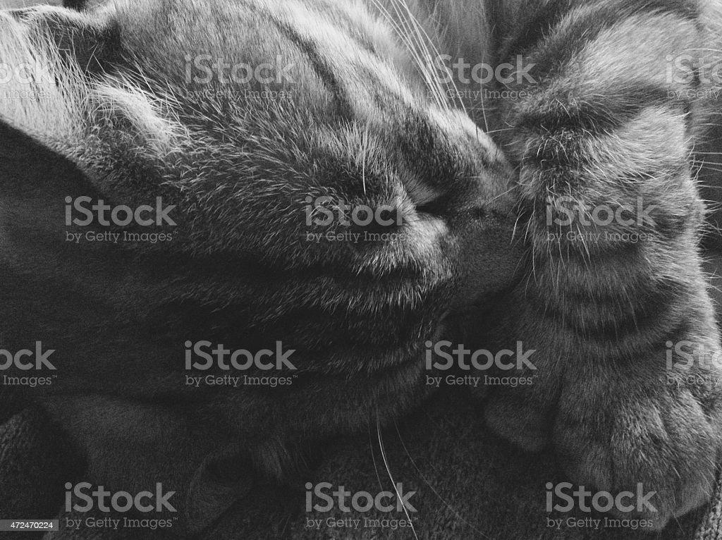 Sleepy Kitty Sleeping kitty curled up,he is polydactyl,  taken with iPhone 2015 Stock Photo