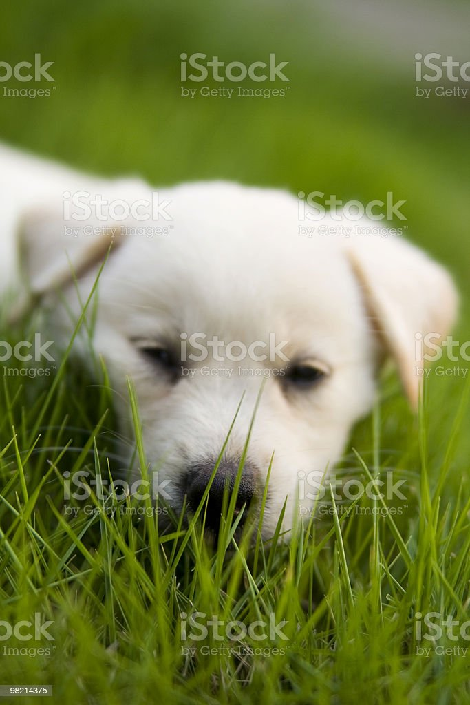 sleepy Labrador Retriever royalty-free stock photo
