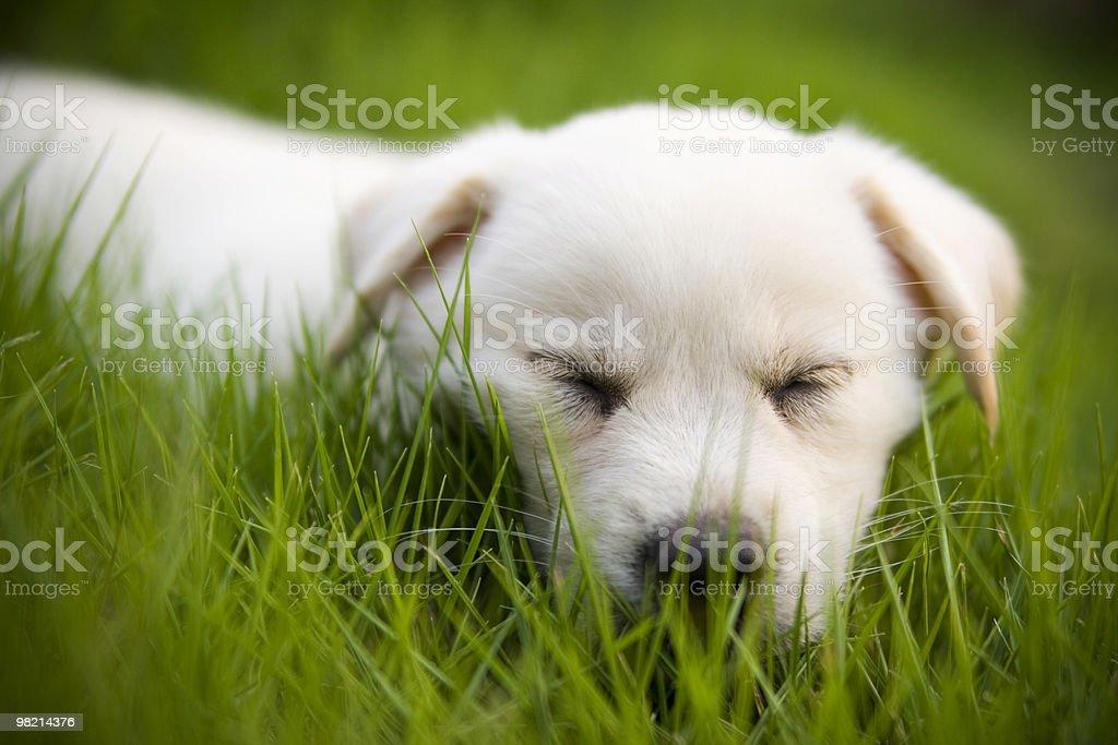 sonnolenta del documentalista di Labrador foto stock royalty-free