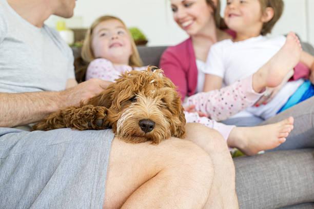 sleepy lap dog - canidés photos et images de collection