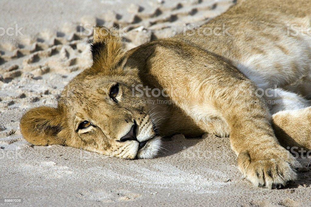 Sleepy cachorro de león foto de stock libre de derechos