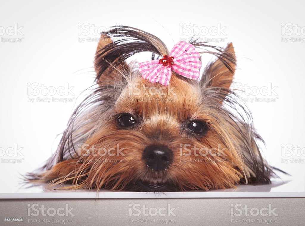 sleepy little yorkshire terrier puppy dog is lying down stock photo