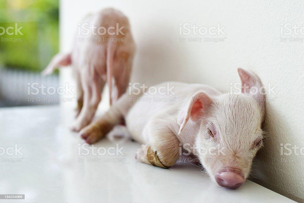 sleepy piglet royalty-free stock photo
