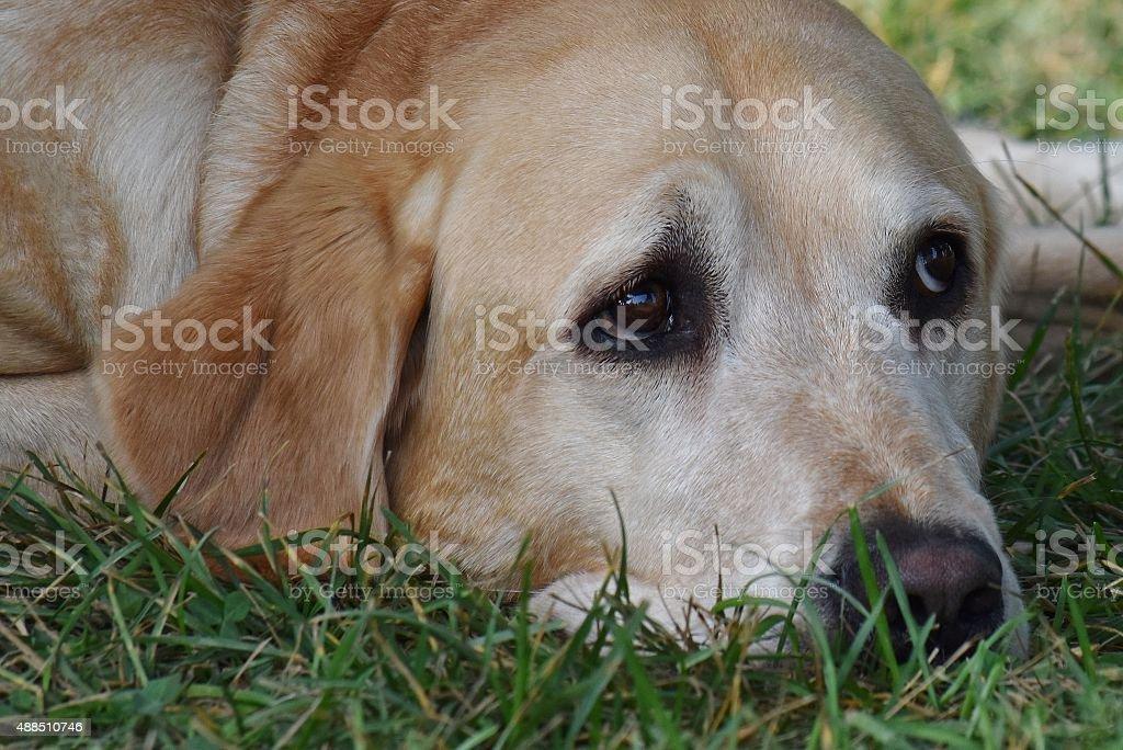 Sleepy Pooch - Golden Lab stock photo