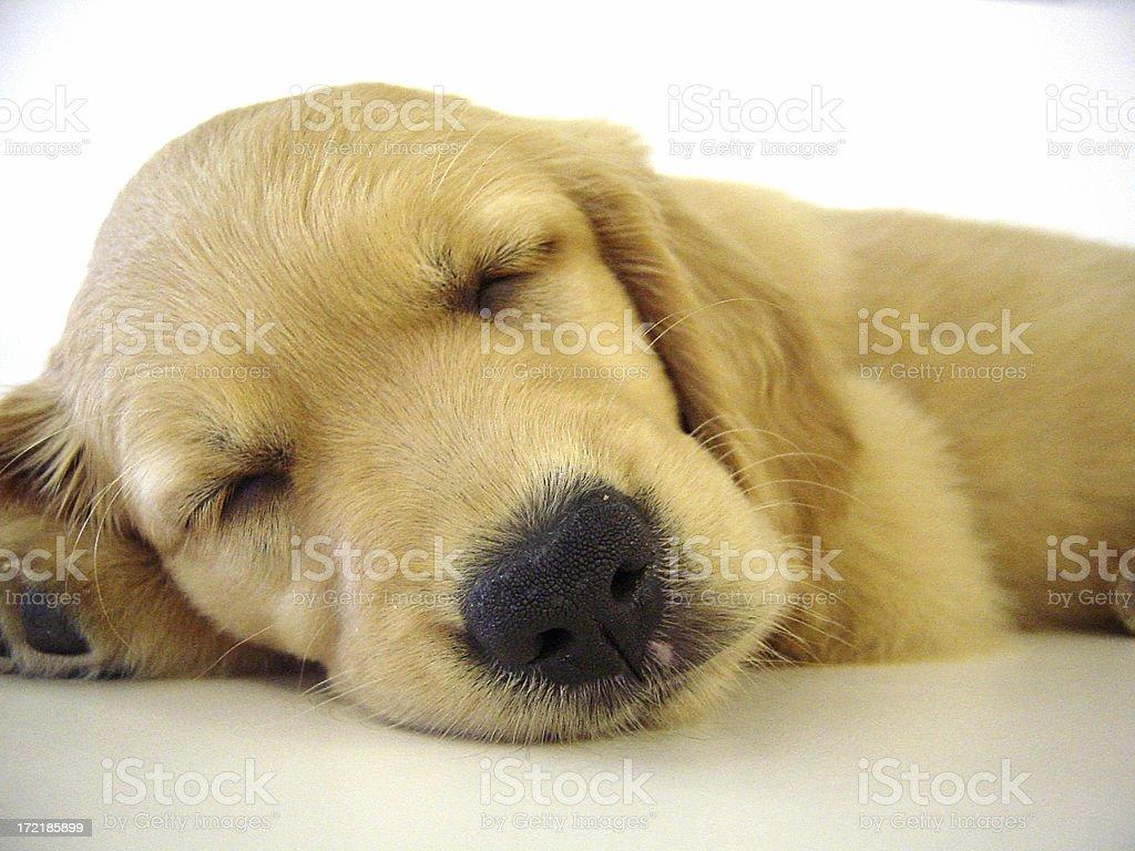 Sleepy Puppy royalty-free stock photo