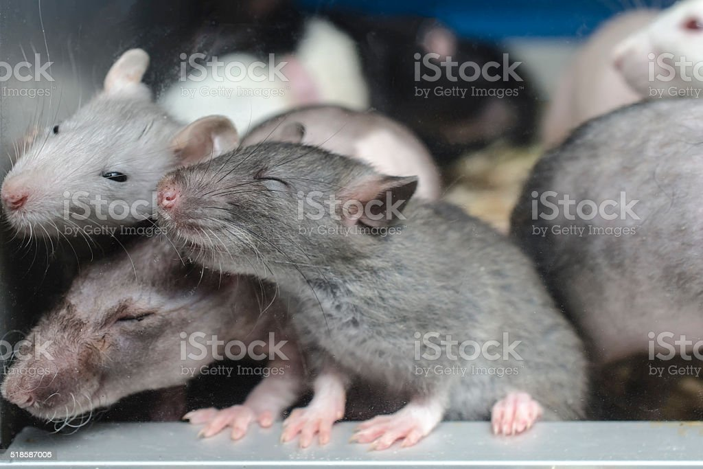 sleepy rat stock photo