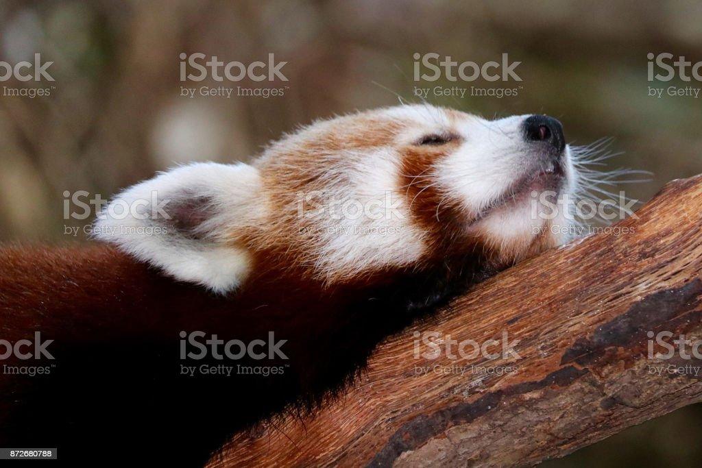Sleepy Red Panda stock photo