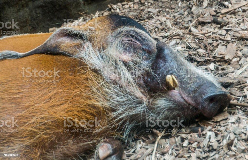 Sleepy red river hog stock photo