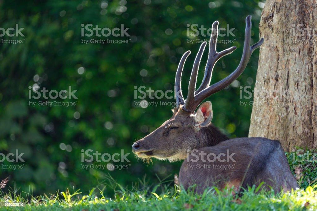 sleepy sambar deer, wildlife in Khao Yai National Park, Thailand stock photo