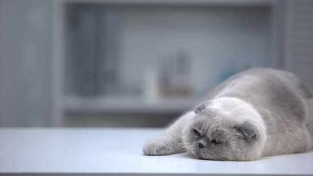 Sleepy scottish fold cat lying on table wellgroomed fur advertising picture id1175585314?b=1&k=6&m=1175585314&s=612x612&w=0&h=apq3lzsbanerlxfgcdq1zyy9izfbhksgktgxpp8nha4=