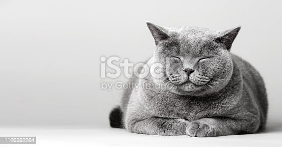 Sleepy smiling cat laying on the floor. Domestic animal, British shorthair cat.